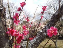 【印旛沼公園】梅園①