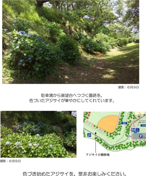 200609_ajisai
